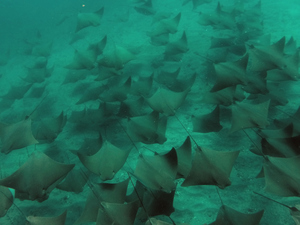 school of Golden Cownose Rays