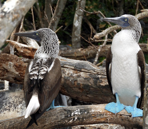pair of Blue footed boobies showing front and back colouration