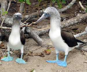 male and female pair of Blue footed boobies