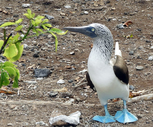 Blue footed booby tag number 612