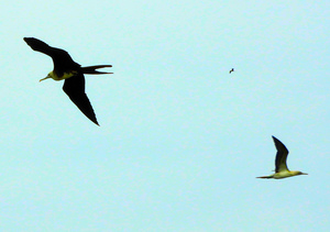 Booby and Frigatebird soaring