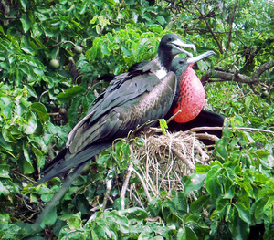 Male and Female Magnificent Frigatebird