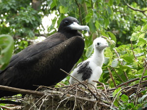 Frigatebird with chick