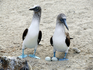 male and female pair of Blue footed boobies with two eggs