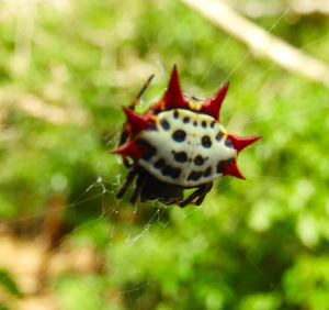 Spider with black-spotted white back, with 6 red spiny projections