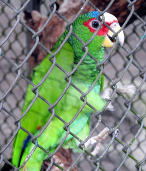 green parrot with red and white trim on head