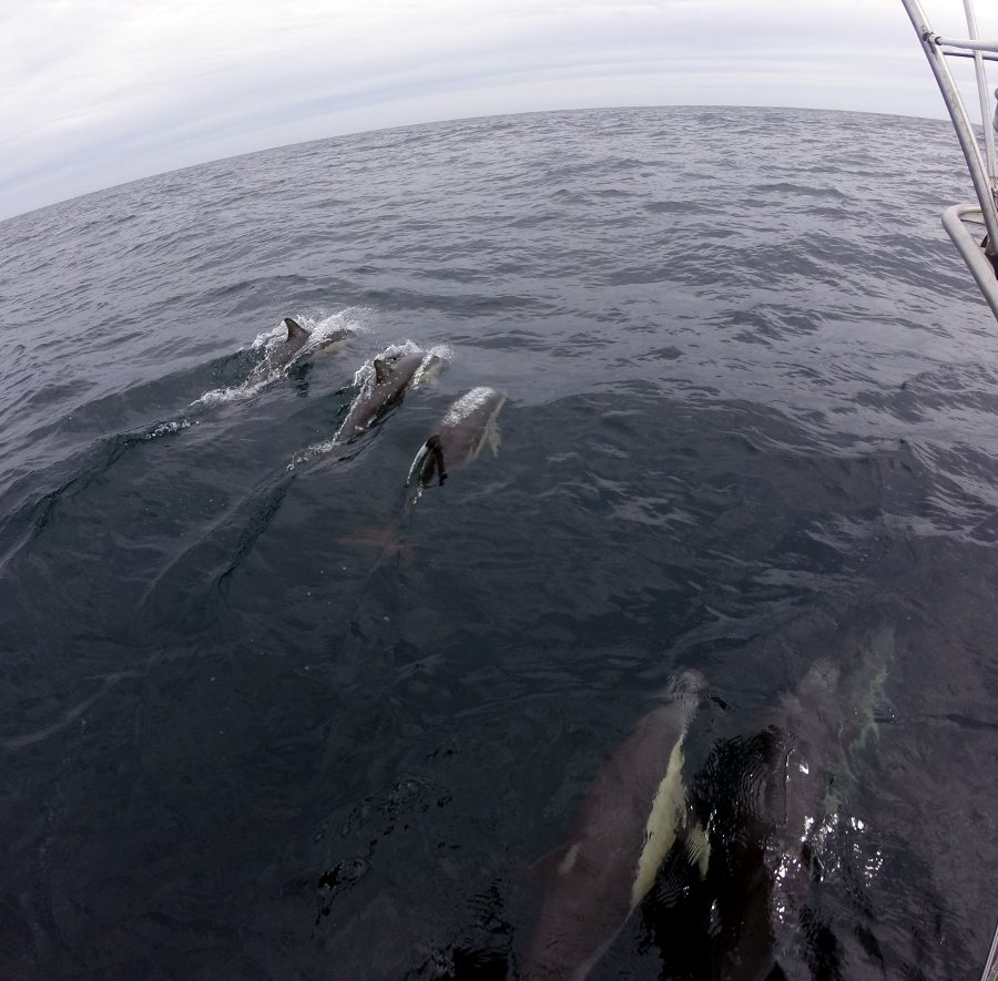 Five Pacific White-sided Dolphins accompanying our boat