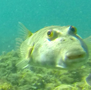 Head-on shot of Puffer