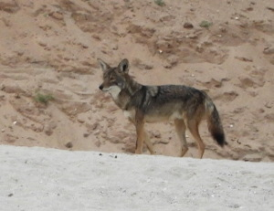 Coyote alert on the beach