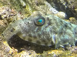 Longnose Puffer with bright blue eyes