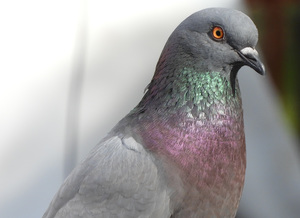 Closeup of pigeon