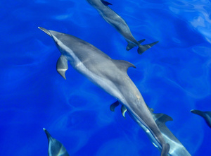 Pantropical Spotted Dolphin pod cavorting around our boat