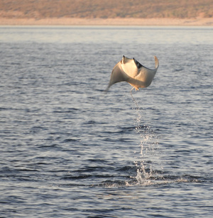 Mobula Ray leaping out of water