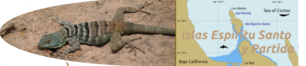 Lizard and chart of Isla Espiritu Santo / Partida / La Paz area