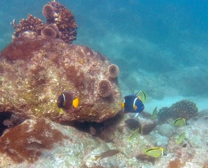 King Angelfish and Barberfish
