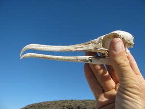 Bird skeleton including long beak