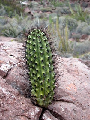 Resilient cactus growing in crack
