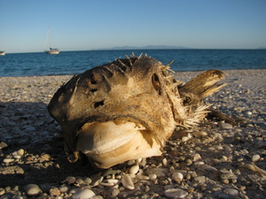 Deceased porcupine fish