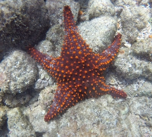 Seastar with red highlights