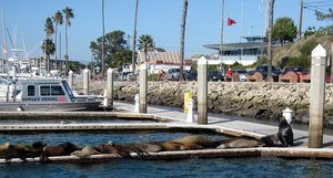 Sea lions on wharf
