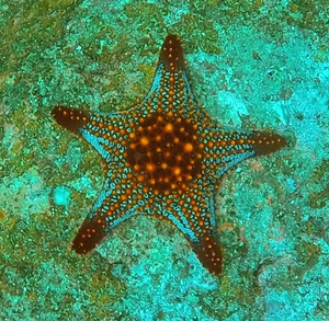 Orange-bumped seastar