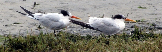 Two wind-blown white and black birds
