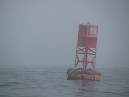 Sea Lions on Buoy on Foggy Day