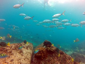 Bigeye trevally, yellowfin surgeonfish, sergeant majors seen snorkeling at Los Frailes